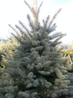 Picea pungens glauca virgata
