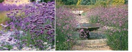 Вербена бонарская – королева цветника