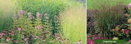 Просо прутьевидное – яркие краски осени